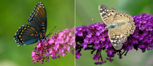 Spicebrush Swallowtail and Hackberry Emperor Butterflies on flowers