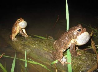 Two American Toads on a log
