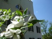 A dogwood tree in blooms in front of Great Falls Tavern Visitor Center.