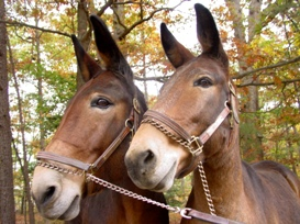 National Park Service mules at Mount Vernon (National Park Service photo)