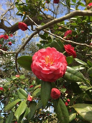 red/pink camellia
