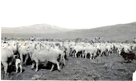 Historic-Photo-Sheep_