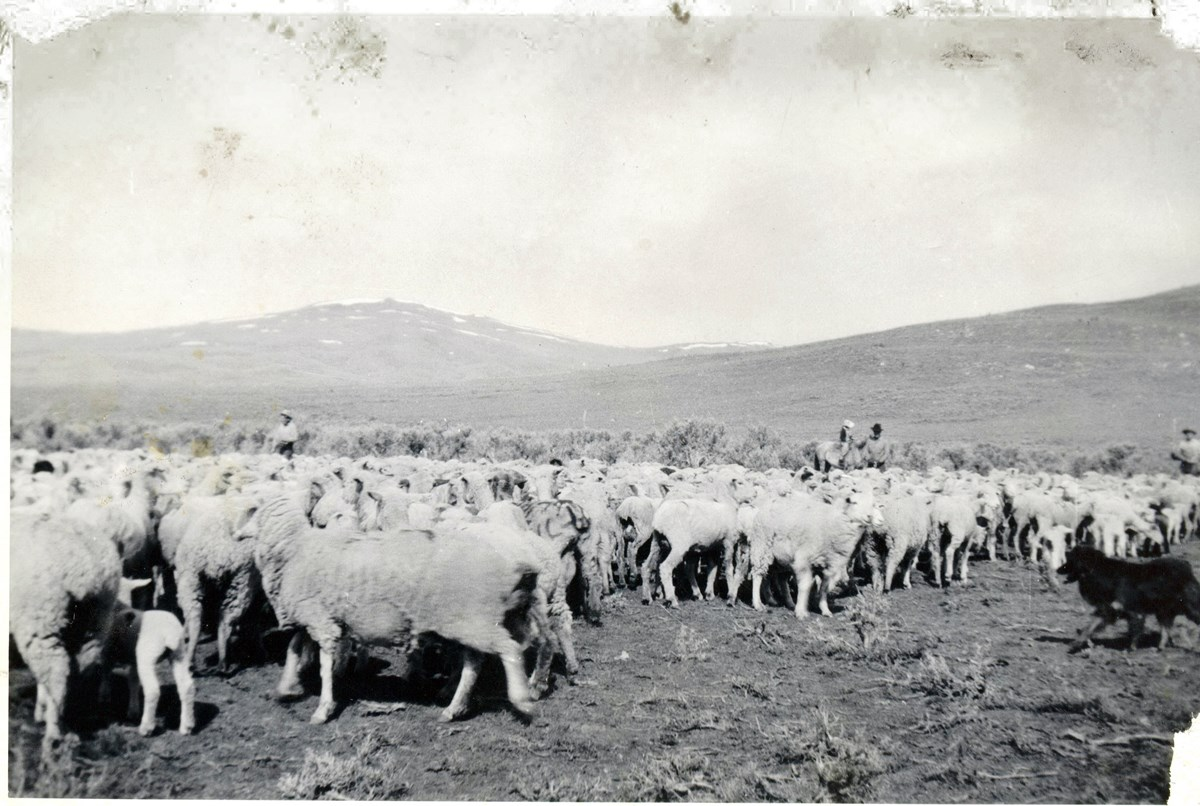 historical photo of herding sheep