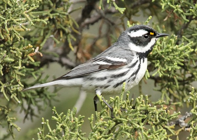 Black-throated Gray Warbler in a pinyon pine