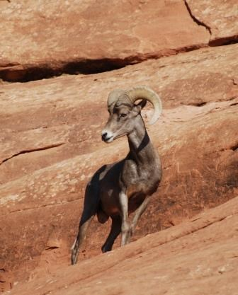 Desert bighorn sheep ram standing on red sandstone.