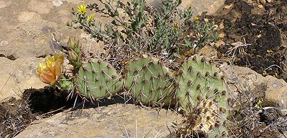 Purple-fruited prickly pear cactus