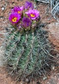 Fish-hook Cactus