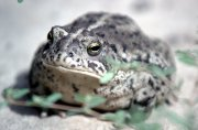 Woodhouse's Toad keeps moist in a desert environment