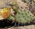 Purple-fruited Prickly Pear