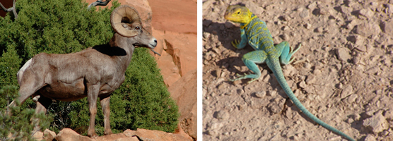 Bighorn sheep and collared lizard