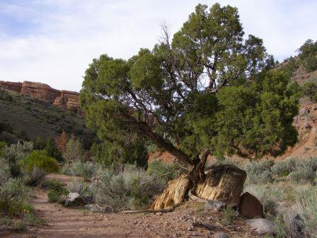 Utah Juniper growing in a crack between two rocks. The tree and rocks are beside a dirt trail.