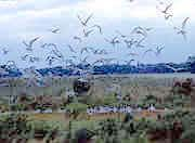 Birds in flight over wetlands