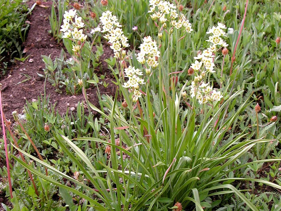 Cluster of white Mountain Deathcamas flowers.