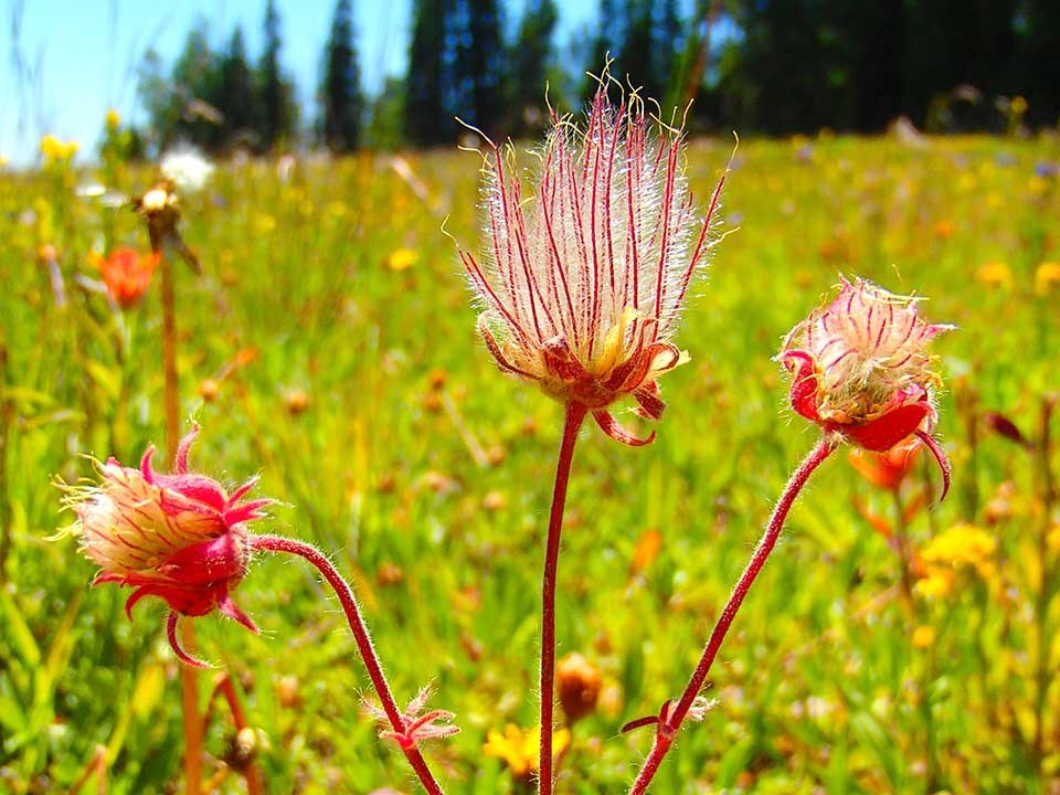Close up of pink Prairie Smoke flower.