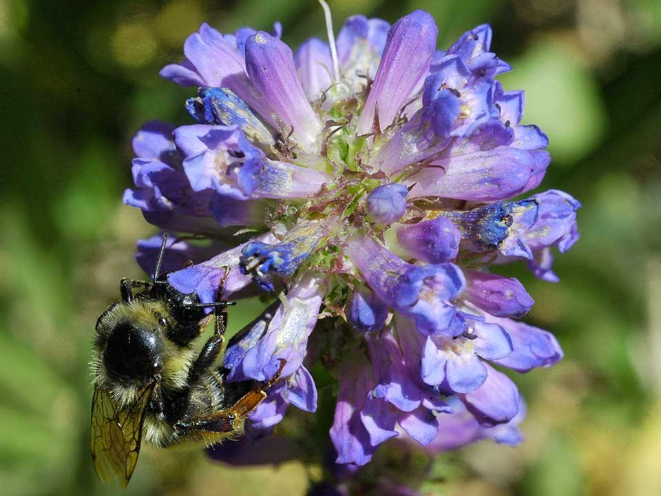 Close up of blue Rydberg Penstemon Flower and a bumblebee.