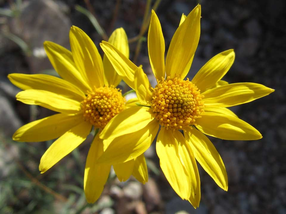 Close up of yellow Showy Goldeneye flowers.
