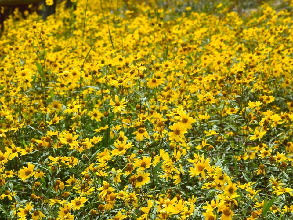 Dense meadow of yellow Showy Goldeneye Flowers.