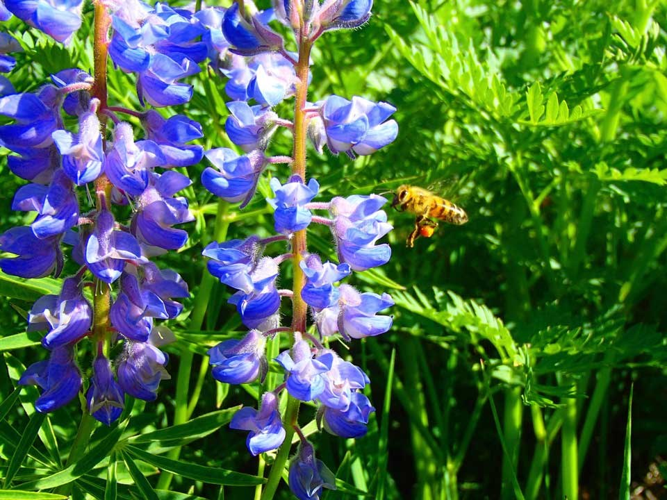 Close up of Silvery Lupine flower and a bee.