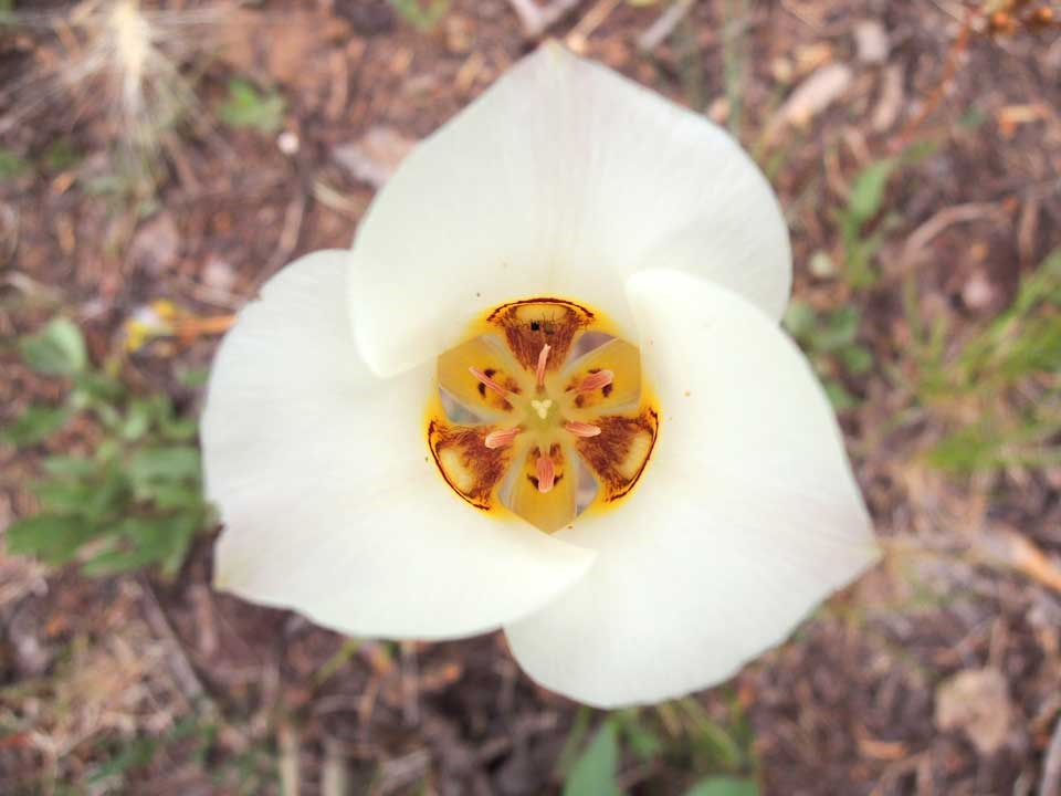 Close up of white Sego Lilly.