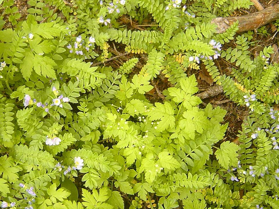 Cluster of Pretty Jacob's Ladder with fern-like foliage.