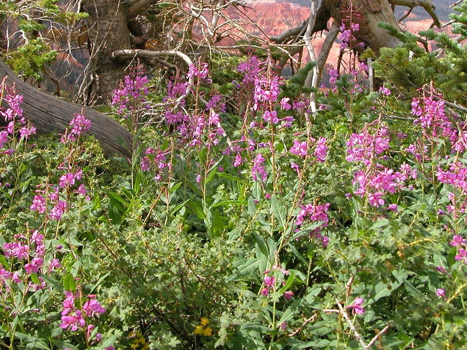Cluster of pink Fireweed flowers.
