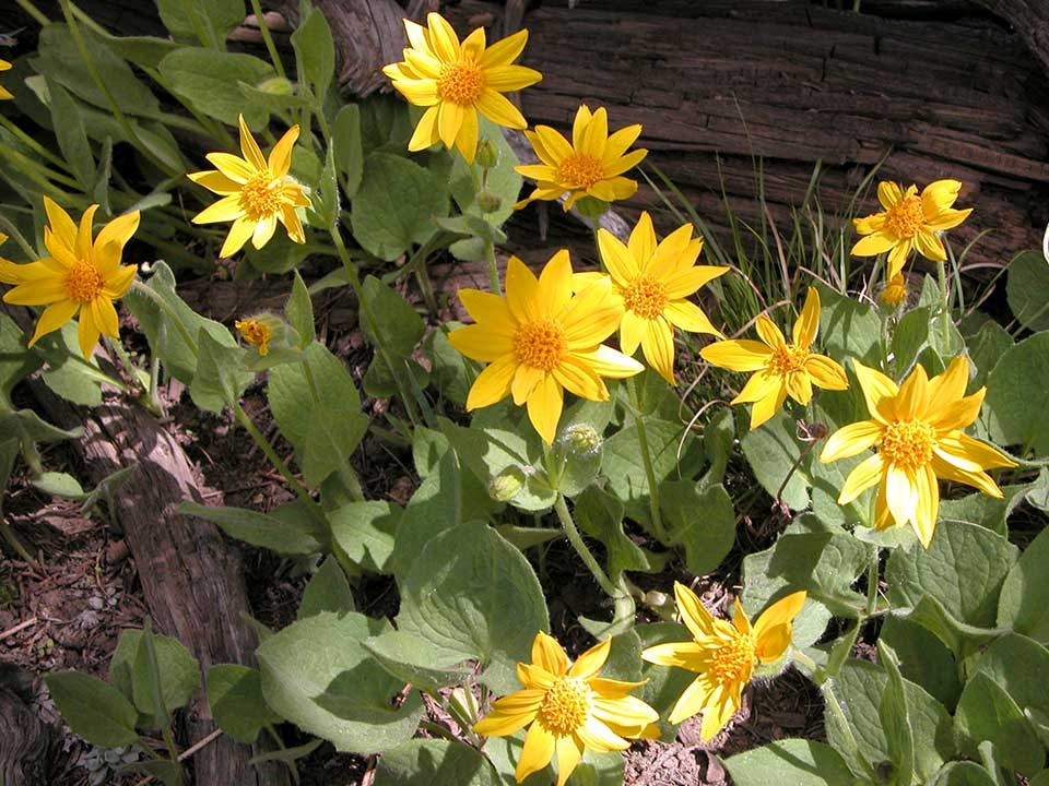 Cluster of yellow Heartleaf Arnica flowers.