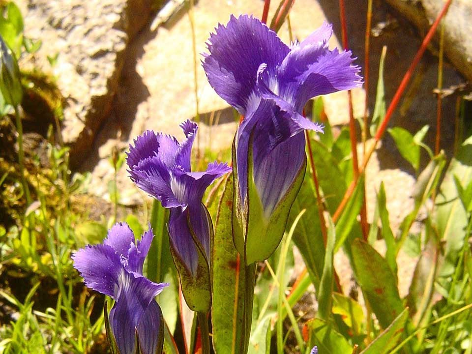 Closeup of purple Meadow Gentian flowers.