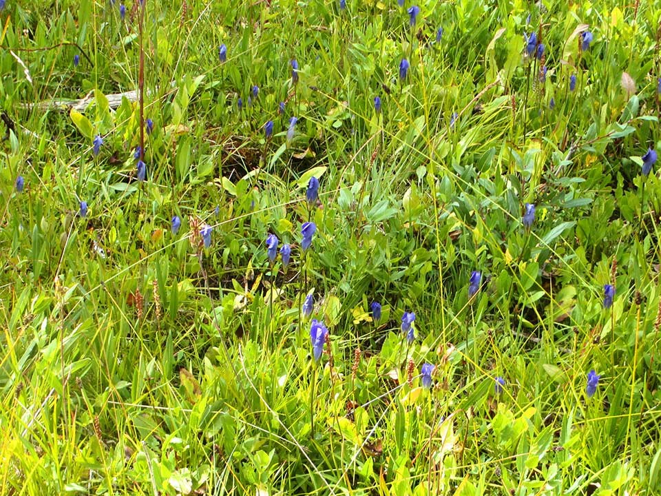 Cluster of tiny purple Meadow Gentian flowers.