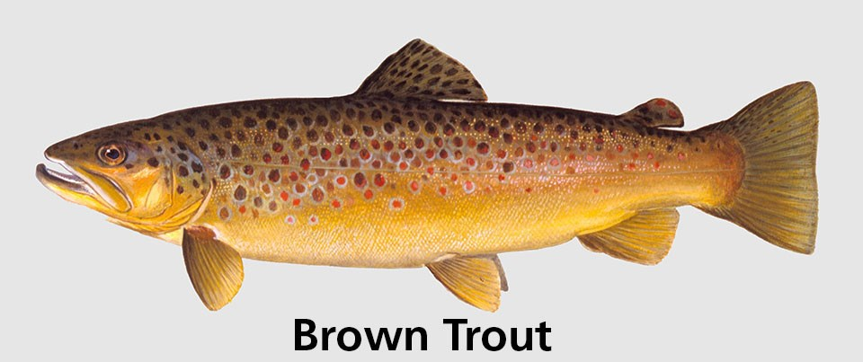 Spotted fish with words: Brown trout