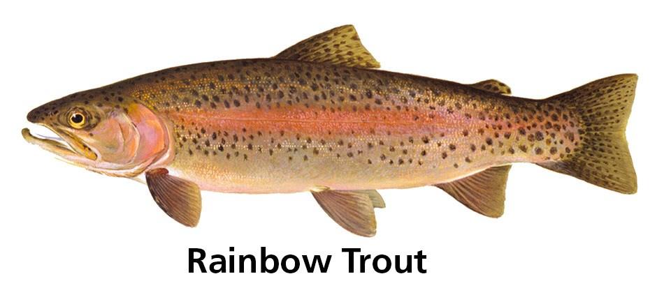 spotted fish with red stripe and words: Rainbow trout