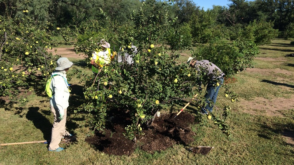 volunteers working on quince tree in orchard