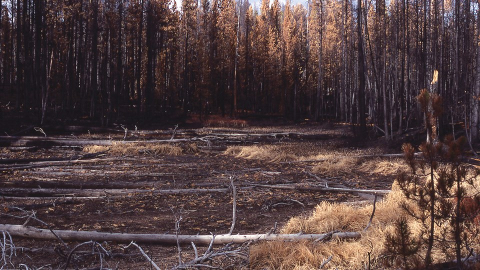 Fire-burned forest right after the 1988 fires.