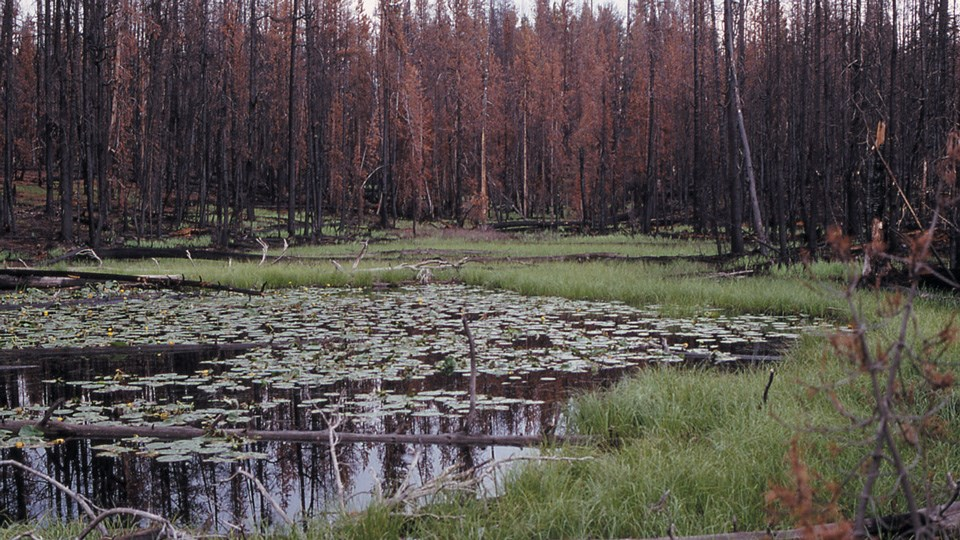 Regrowth and pond in the same location in 1989.