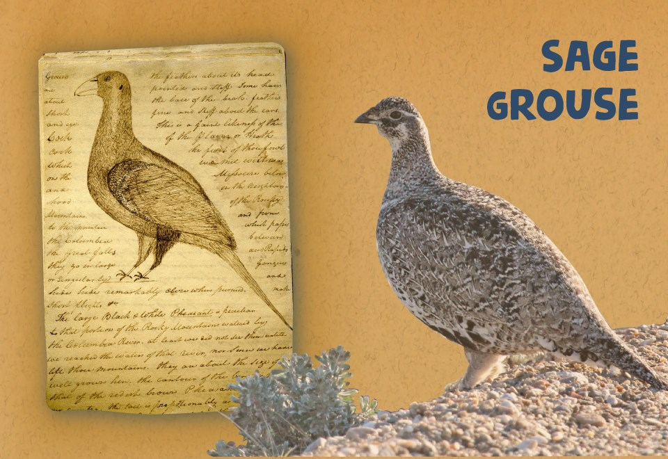 Journal page with drawing of plump bird and hand scrolled notes. Photo of Plump bird stand among sage brush. Sage grouse.