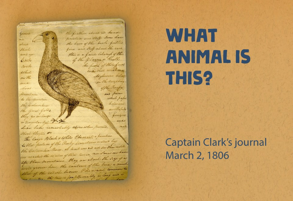 Journal page with drawing of plump bird and hand scrolled notes. What animal is this? Captain Clark's journal. March 2, 1806.