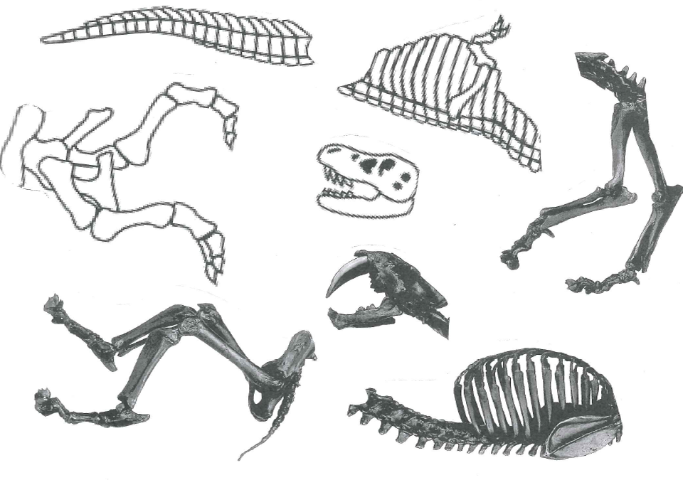 Fossil Parts, various skulls and bones on white background