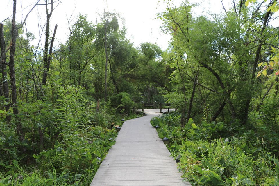 View of Swamp Trail without diseased trees