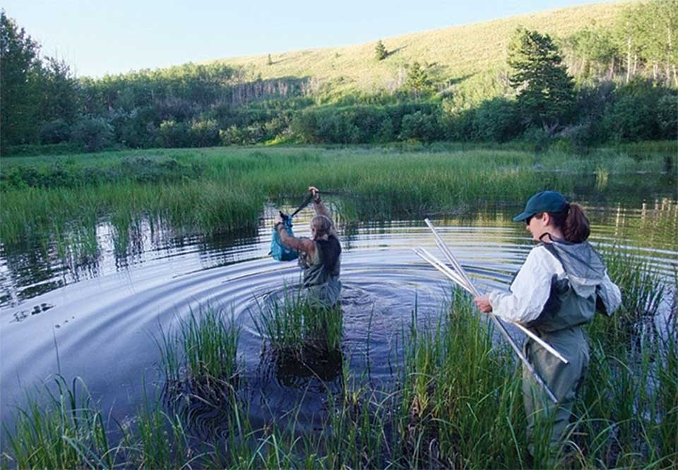 Biologists Cori Lausen and Barb Johnston wear chest waders to deploy a water net in a pond where bats frequently forage.