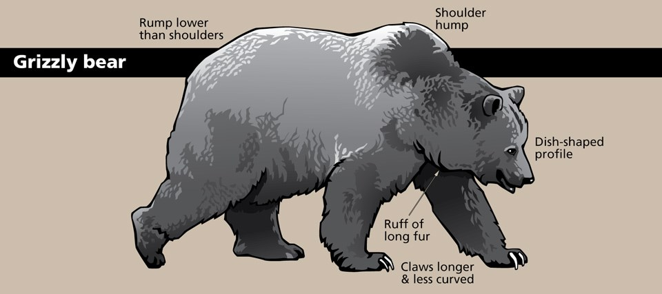 Diagram of a grizzly bear with various body parts and shapes identified.