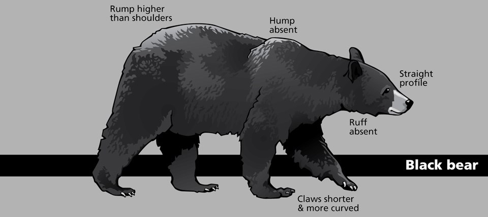 Diagram of a black bear with various body parts and shapes identified.