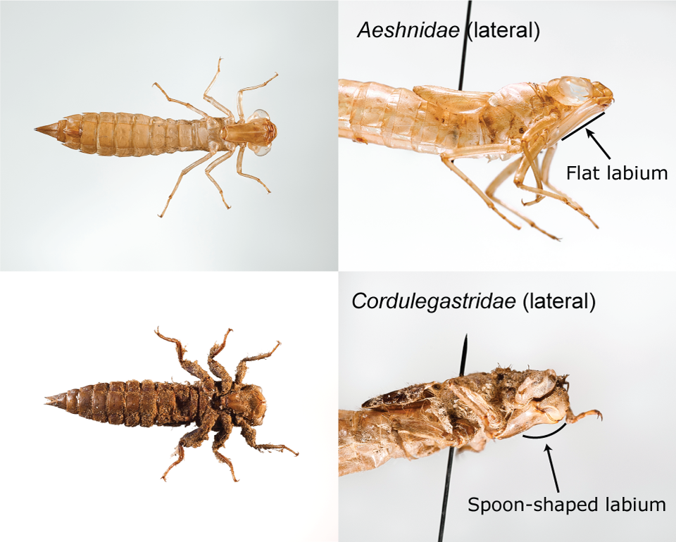 Image to distinguish between two taxa of dragonfly larvae
