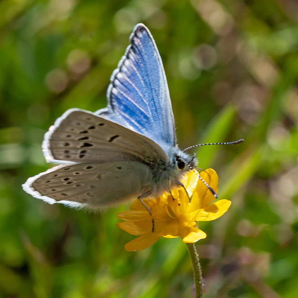 photo of mission blue butterfly on a flower