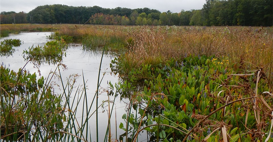 A wetland with emergent plants and still water. On the right and in the background is meadow bordered by forest.