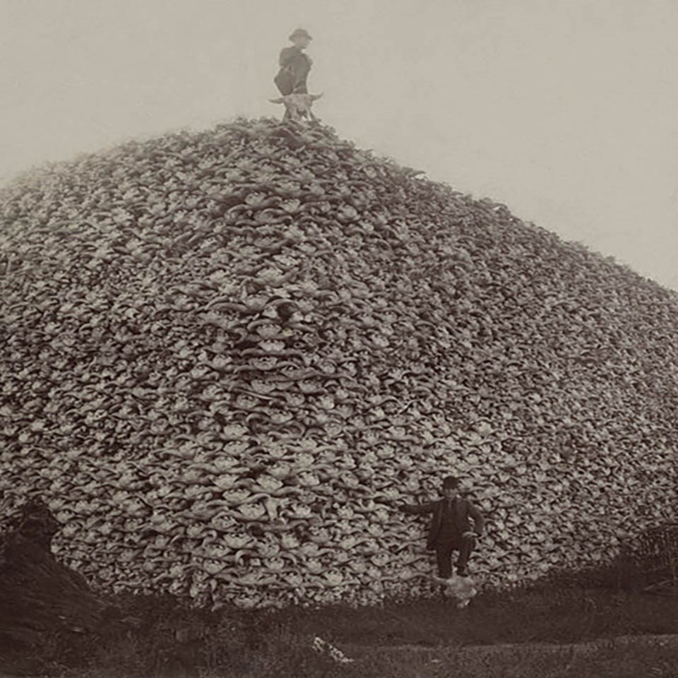 A historic photo of a man standing on a huge pile of bison skulls
