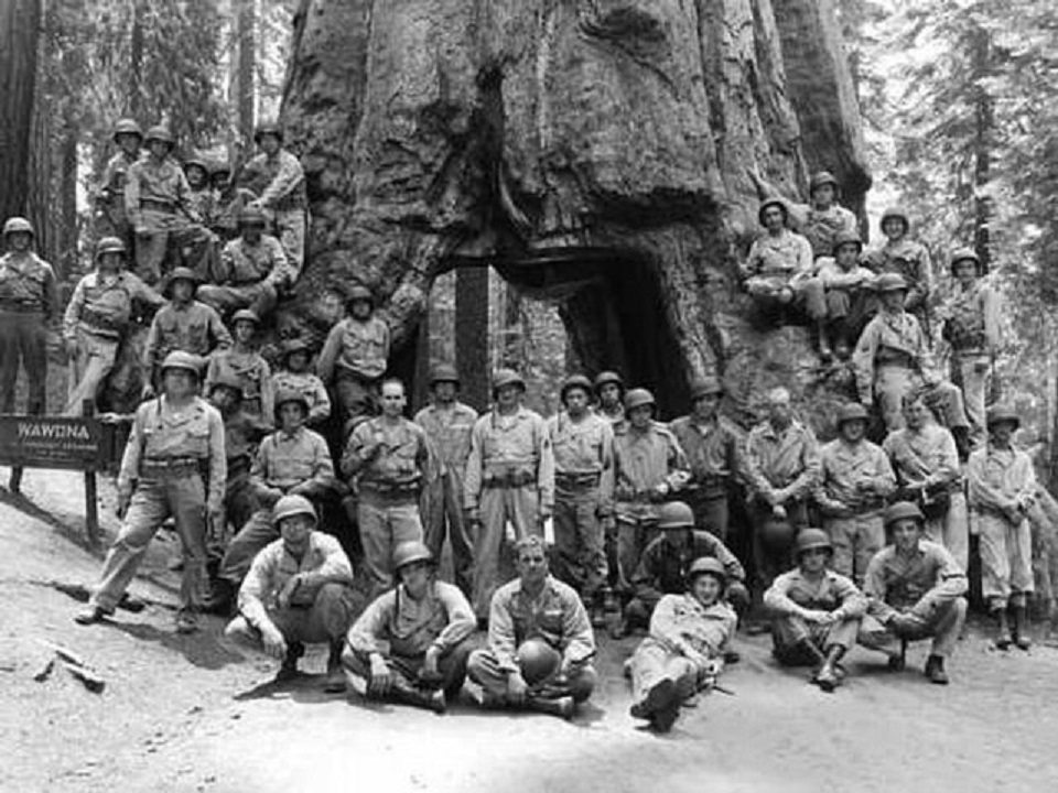 Historic black and white image of a group of sailors in front of a large tree with a tunnel through its trunk
