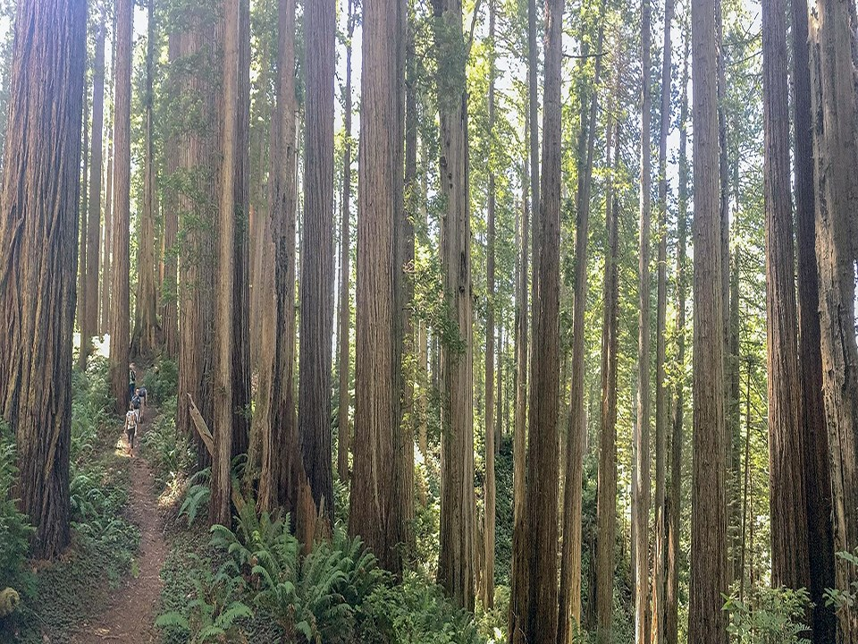 Visitors walk through old-growth redwood trees