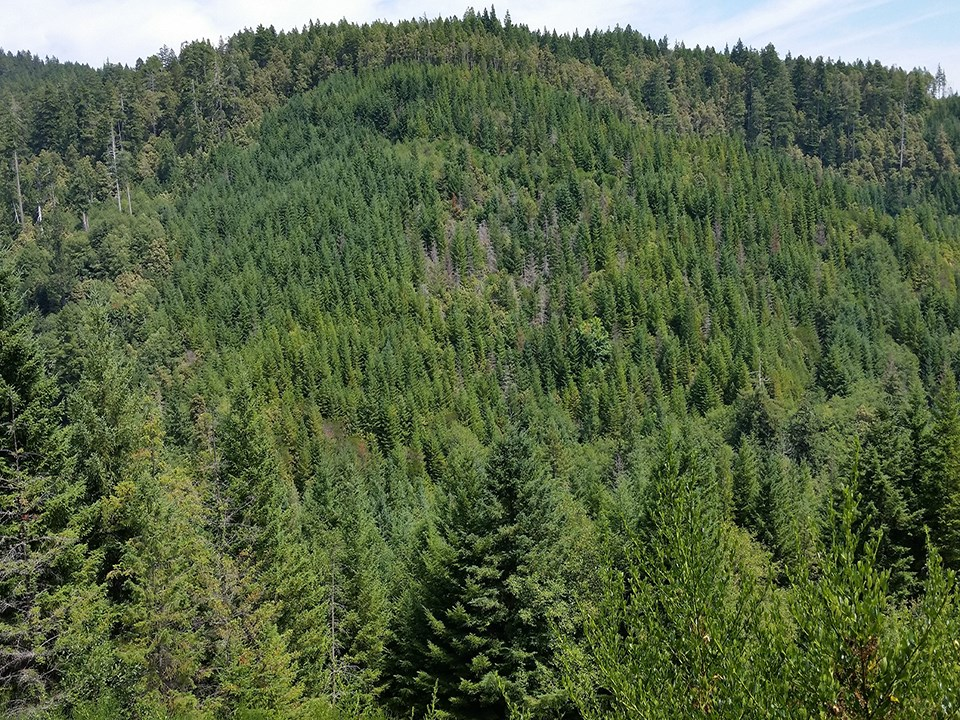 Hillside with old-growth trees on a ridge and second-growth on the facing slope.