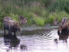 two bulll moose wading in a pond