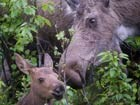 a moose cow and calf in brush