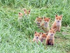 eight red foxes sitting together in tall grass